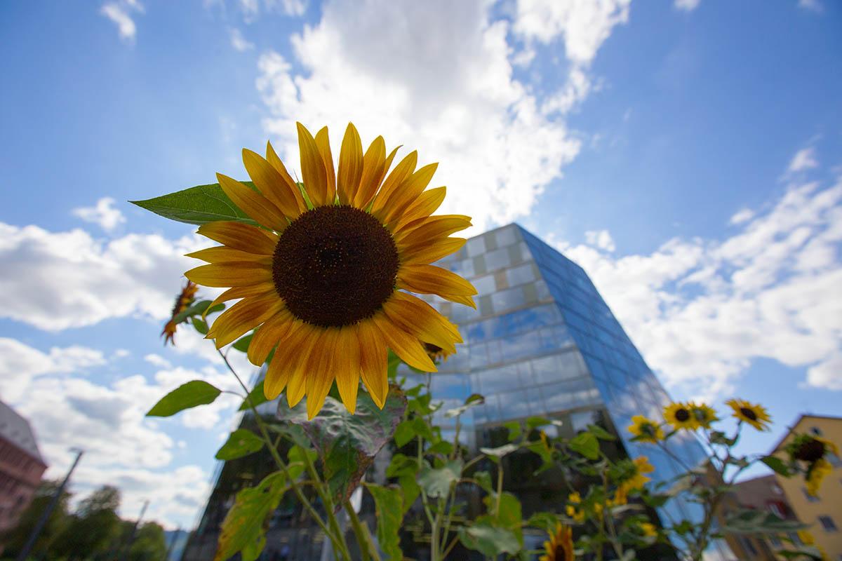 Sonnenblume vor modernem Gebäude| Freiburg Unibibliothek Copyright FWTM-Mende